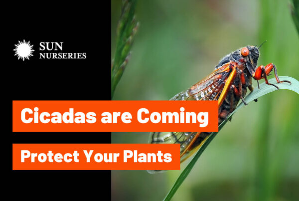Cicadas are not Locust | Sun Nurseries